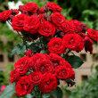 2018 春 深紅の薔薇たち その2