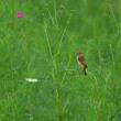 10/1の鳥見・ノビタキetc@コスモス畑