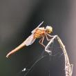 アゲハ蝶の集団吸水とベニイトトンボなど