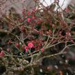 長泉寺の紅梅