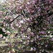 籠の鳥 2  新宿御苑の桜の思い出