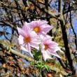 今年も小金井公園の皇帝ダリアが咲きました