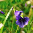 野生のスミレは、土手でとてもたくましく咲いています。 (Photo No.14248)