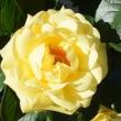 バラ 「ゴールデン・スマイルズ」