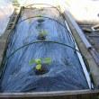 かぼちゃ栽培、畝作り~育苗~植付、アゲハの若齢幼虫