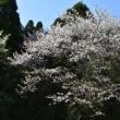 遅咲きのヤマザクラ