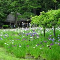 「花菖蒲を楽しむ」/小石川後楽園