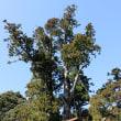 「小川内の杉」移植からまもなく2年、ついに根付く