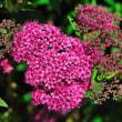 ピンク色のシモツケの花も堤防の土手に咲いています。 (Photo No.14341)