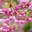 蕾の陽光桜 (志摩横山・創造の森)