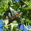 吊りスイカの楽しみが終わり、スイカの後には白菜を植え…