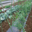 大玉トマトの整枝作業。