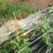 7月15日・オクラ初収穫しました!