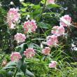 カノコユリの花が咲いていました、