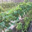 ジャガイモを収穫したYO(^^ゞ(最終章)