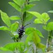 ゴマダラカミキリが、草の茎にとまっていた。