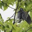 今日の鳥 ハリオアマツバメ アオバト