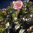 ビニール温室の中に「白ナス」の長なすと、太白茄子の種を蒔きました