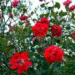 バラと冬の空
