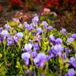2017 秋に追われるように花から花へとマルハナバチ (直方市 のおがた福地山ろく花公園)