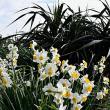 宇宿のサイクリングロードでニホンスイセンが咲いていました!
