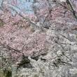 サクラの里のサクラが咲いた