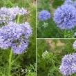 ギリアの花は