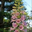 ヨウラクツツアナナス珍しい花が咲いた