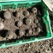 サトイモの芽出し