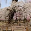秩父武州中川「清雲寺の垂れ桜」