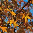 楓(カエデ)の仲間は綺麗に紅葉するので人気がありますよね。  (Photo No.14114)