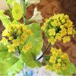 お砂糖で菜の花