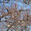 早咲きの梅を見ながら偕楽園