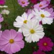 「おはようの花」 コスモス