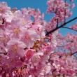 さくらの広場~河津桜~
