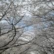 音無川沿いの観桜