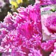 花彩々   葉ボタン