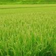 『緑の絨毯』?!