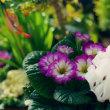 ●我が家の1月の花(9)三色ビオラ プリムラ ガーデンシクラメンなど