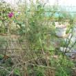 アスパラ脇にラベンダーを植え付けました