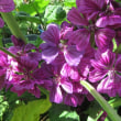 近所の花 ホタルブクロ、スイセンノウなど