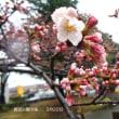 鹿沼公園の桜の開花状況!