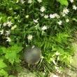 深山嫁菜(みやまよめな)*庭に植えたい野草
