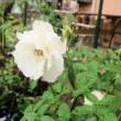oneboke みちこ今日の庭 薔薇エルフ と 柿とりんごのしっとりパウンド