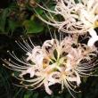 明治安田生命で女性管理職増 8%→23%に/ピンクの彼岸花(曼殊沙華)と白花の芙蓉が咲いています。