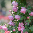 ご近所のバラ園のバラ(3)