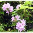 春から初夏にかけて咲く花(^^♪日本原産のツツジ科ツツジ属の半落葉低木「ヤマツツジ(山躑躅)」