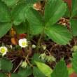 オランダイチゴ開花