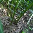 9月9日我が家の生姜畑
