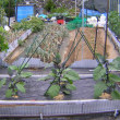 ナスビ栽培、脇芽欠きと追肥